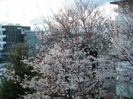 2014.3桜.jpg